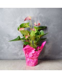 Tickled Pink Potted Anthuriums, floral gift baskets, gift baskets, potted plant gift baskets