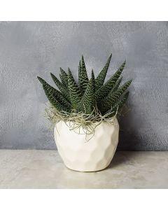 Potted Zebra Plant Succulent, floral gift baskets, gift baskets, succulent gift basket